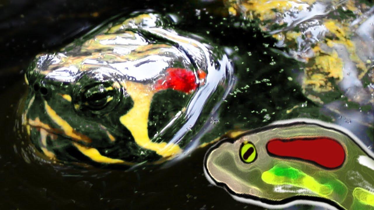 Quello che non sai sulle tartarughe di acqua dolce youtube for Acqua tartarughe