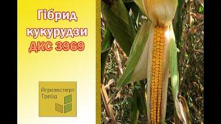 Кукуруза ДКС 3969 🌽 - описание гибрида 🌽, семена в Украине