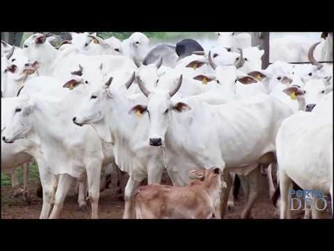 Intensificação duplica produtividade da pecuária. Saiba como na DBO