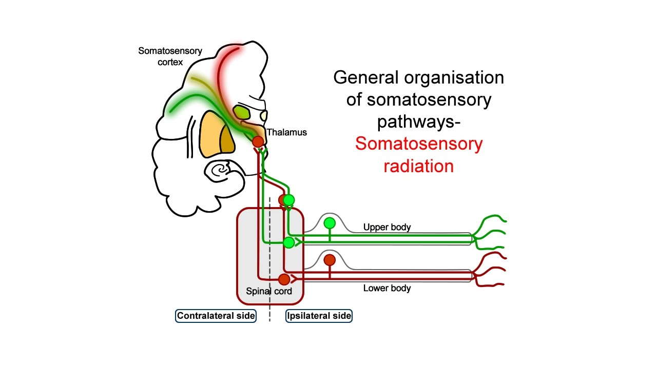 hight resolution of ascending somatosensory pathways