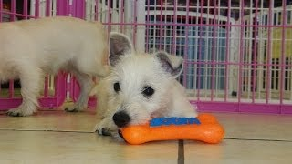 West Highland Terrier, Puppies, For, Sale, In, Houston, Texas, Tx, Mcallen, Mckinney, Mesquite, Plan