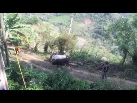 Horses in Honduras