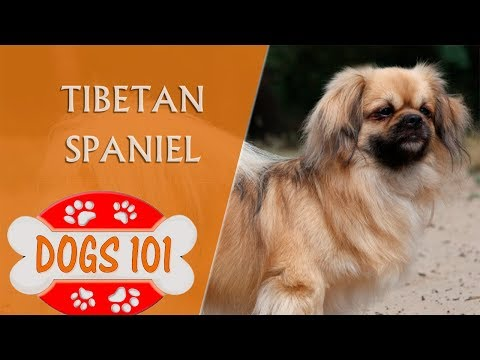 Dogs 101 - Tibetan Spaniel - Top Dog Facts About the Tibetan Spaniel