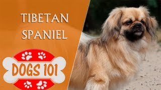 Dogs 101  Tibetan Spaniel  Top Dog Facts About the Tibetan Spaniel