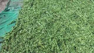 Stevia Leaves Drying Process