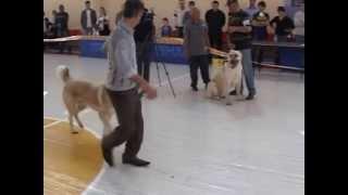 Armenian Wolfhound-Gampr