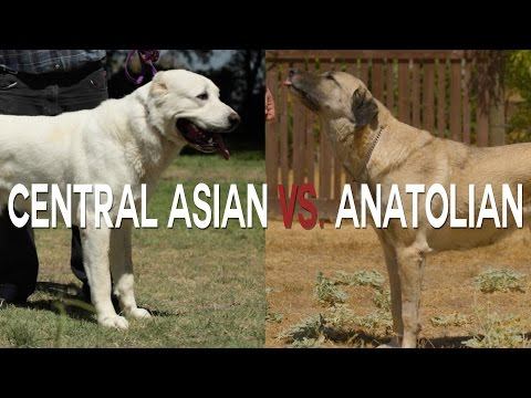 CENTRAL ASIAN SHEPHERD vs ANATOLIAN SHEPHERD