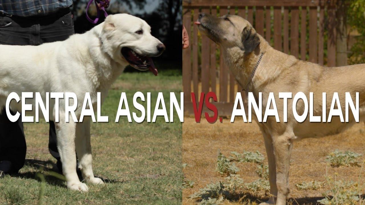 Black Central Asian Shepherd Dog
