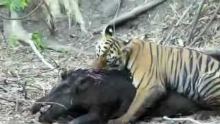 Tiger Cub Attacks Huge Wild Boar Then Eats It Alive! (Brains For Breakfast!)