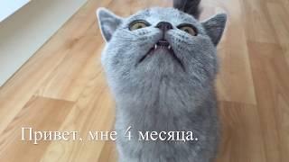 Проказник КОТЁНОК БРИТАНСКОЙ породы 4 месяца/ British Cat