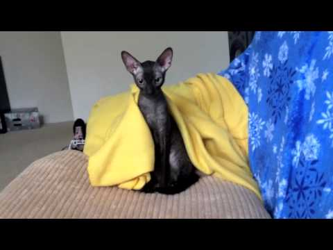 Rupert, My Cornish Rex, Caught in A Blanket !! ;)