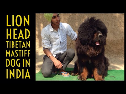 Black and tan | Lion head | tibetan mastiff dog in punjab,india | +919417730301 #tibetanmastiff