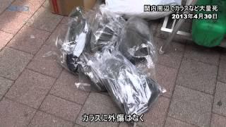 カラス大量死、横浜・関内地区/神奈川新聞(カナロコ)