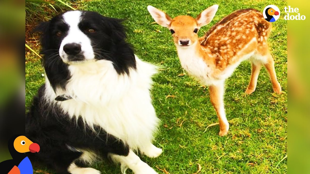 Animal Odd Couples Youtube rescued baby deer grows up with dogs | the dodo odd couples