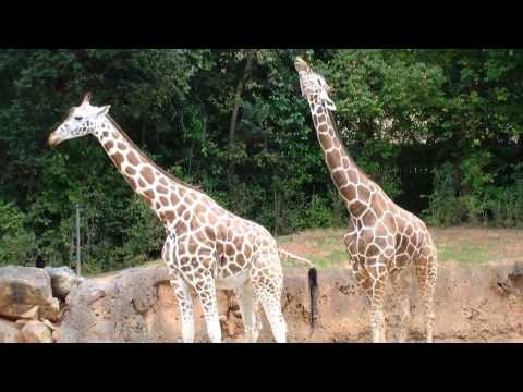 Thumbnail: How Giraffes Mate, and Why It Matters