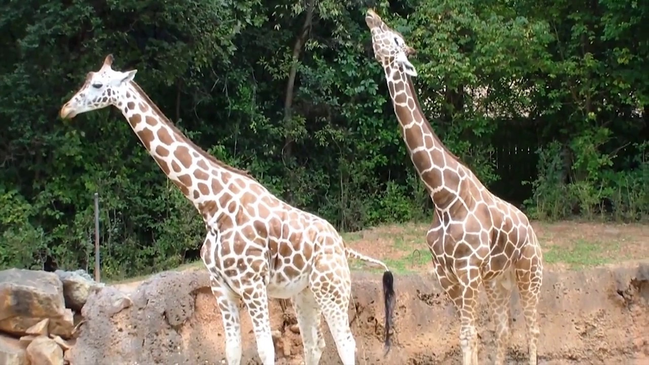 How Giraffes Mate, and Why It Matters