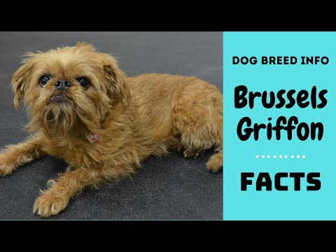 Brussels Griffon dog breed. All breed characteristics and facts about Brussels Griffon dogs