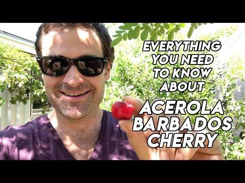 Ep185 Acerola // Barbados cherry tree // A Delicious Medicinal Fruit!