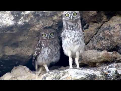 Little Owl  (Athene noctua) Κουκουβάγια - Cyprus