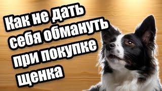 Выбор породистого щенка и как избежать обмана при покупке (На видео щенки бордер колли)