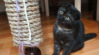 Пополнение в семье, нашли кошечку. Черная шотландская вислоухая кошка. Поляковы