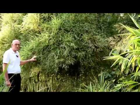 Best Hedging Bamboos - Malay Dwarf Variegated