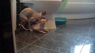 Two Cat Romance and Mating