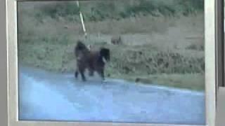 原発周辺で取り残された犬は、餌がそこを尽きたのか喧嘩が起こっている...