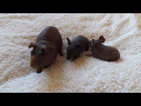 Hairless Guinea Pig & Cute Babies