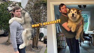 How Much Do Giant Alaskan Malamute's Weigh??