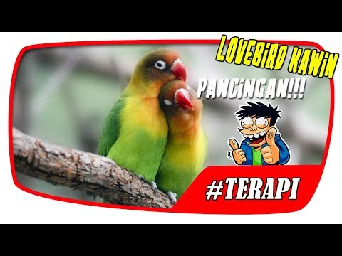 Terapi Suara Lovebird macet Kawin | Terapi Burung #2