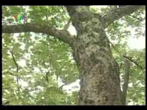 CaySua.com - Tin về vụ khai thác gỗ sưa.flv