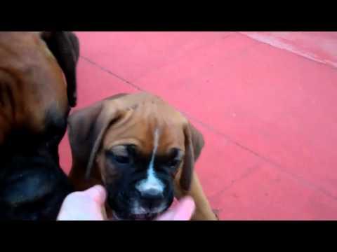7-week old Boxer puppies