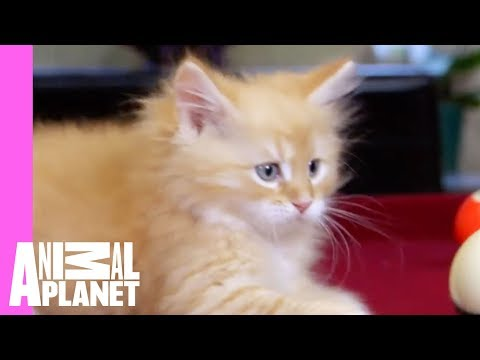 Thumbnail for Cat Video Siberian Calvin Is Up for a Game of Pool with Dad | Too Cute!
