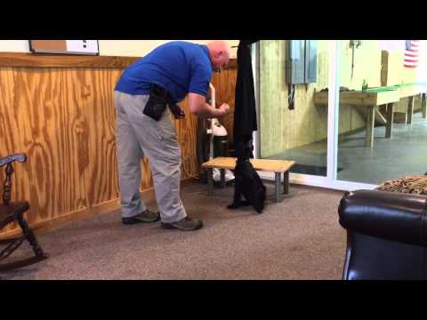 "Giant Schnauzer Puppy For Sale ""Mica"" Early Obedience Training Dog For Sale"