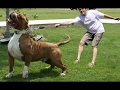 DOG BREED Biggest Real Dogs in the World - No Fake Dogs [Mr Fahey]