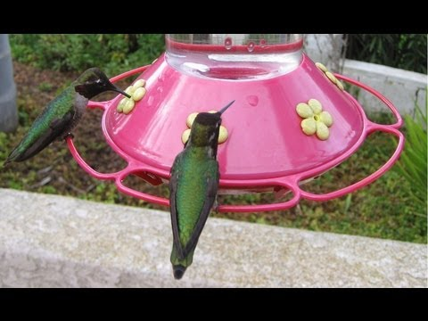 hundreds of hummingbirds at bird feeder in hd. Black Bedroom Furniture Sets. Home Design Ideas