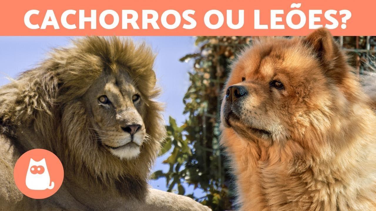 10 CACHORROS que parecem LEÕES! 🦁