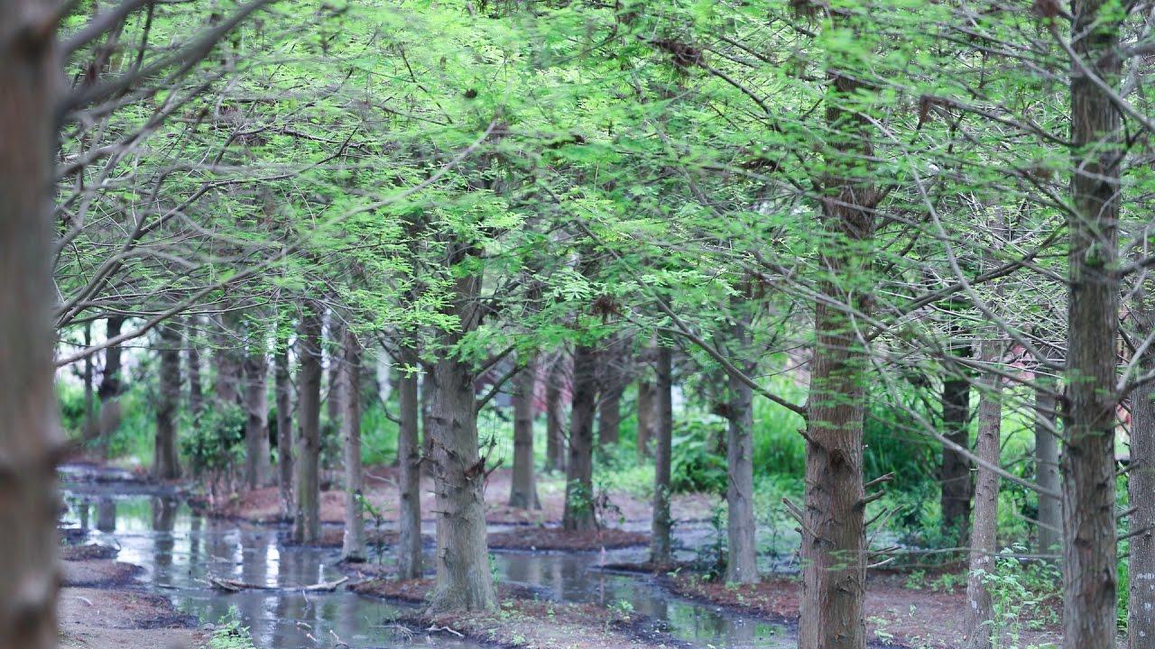 臺中霧峰北岸路落羽松-綠綠的落羽松也很漂亮哦 - YouTube