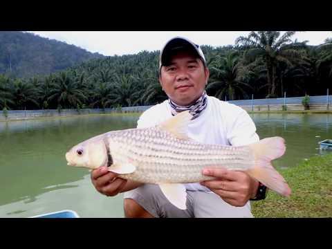 Umpan Ikan Temoleh