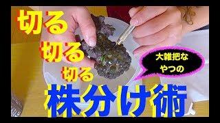 マメスナの株分けの方法❗️大雑把なアタイはこうやるよ❗️Breeding of saltwater fish and coral MOAMOAちゃんねる