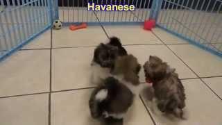 Havanese, Puppies, For, Sale, In, Mobile, County, Alabama, Al, Huntsville, Morgan, Calhoun, Etowah,