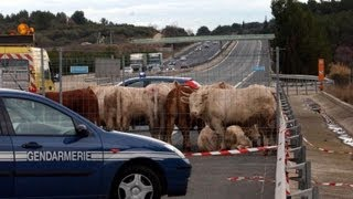 Camion transporteur de vaches qui se renverse en direct