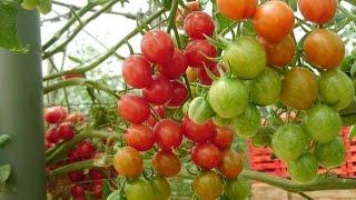 Cara Mengembangbiakan Tomat Agar Cepat Berbuah | TIPS BERKEBUN ORGANIK
