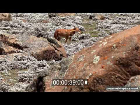 Ethiopia - Endangered specied - The Ethiopian Wolf,  Bale national park