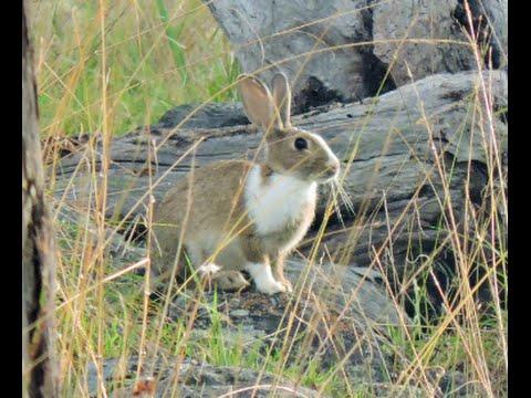 Bowhunting rabbits IMPACT SHOTS