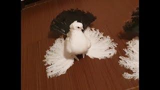 Beautiful Pigeons / Русская порода голубеи в Румынии. Новочеркасские Чернохвостые(MîRZEA M /România)