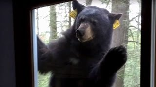 Watch as Terrifying Bear With a Taste for Brownies Refuses to Leave Woman's Home