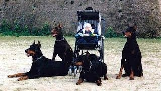 doberman dog protects babies and kids compilation ultimate protection dogs