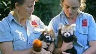 Save The Red Pandas